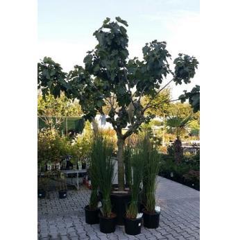 Vijgenboom